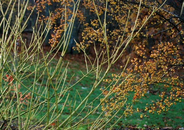 cornus-and-malus