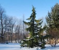 beloved conifers: weeping alaska cedar