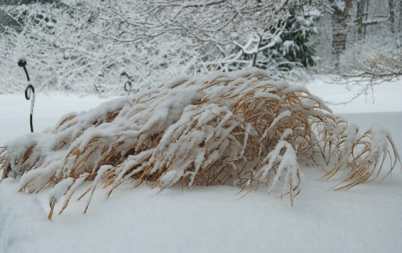 hakonechloa snowy