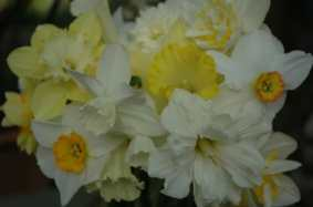 narcissus-from-the-garden.jpg