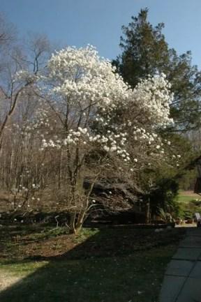 ballerina-loebneri-magnolia.jpg