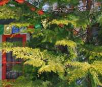 beloved conifer: chamaecyparis obtusa 'crippsii'