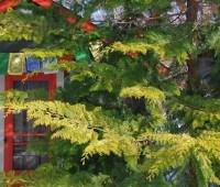 beloved conifer: chamaecyparis obtusa 'crippsii'