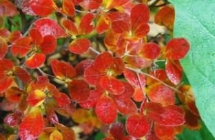 decicuous-summer-azalea.jpg
