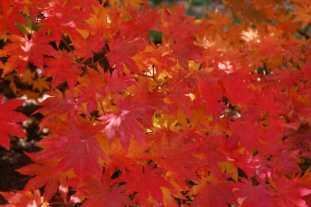 korean-maple-acer-psuedosieboldianum.jpg
