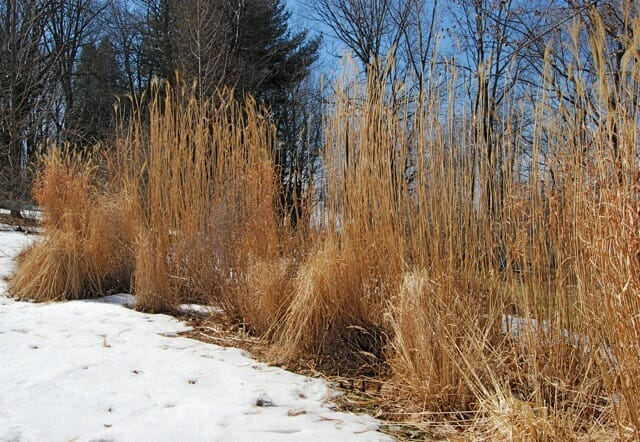 miscanthus-late-winter