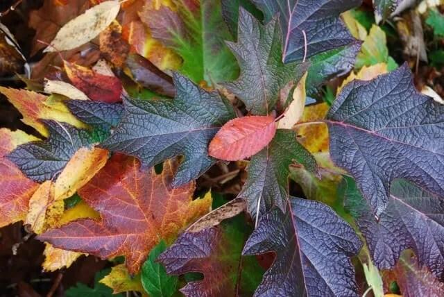 okaleaf-hydrangea-quercifolia