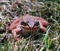 hey, mr. (or mrs.) bigstuff: a wood frog stops by