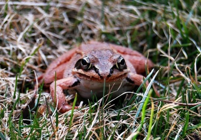 wood-frog-face