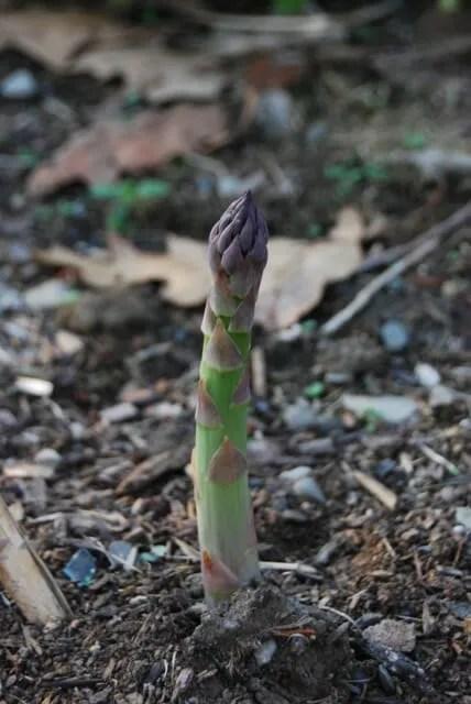 asparagus-in-april
