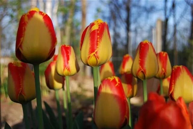 bicolor-tulip