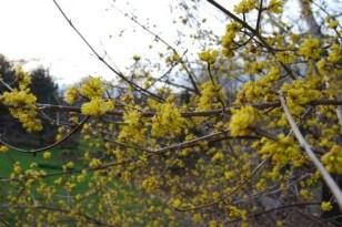 cornus-mas-branches.jpg
