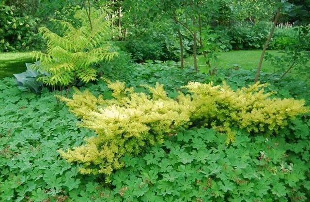 Beloved Conifer Golden Spreading Yew A Way To Garden