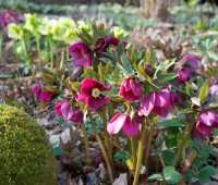 here (finally!) come the hellebores