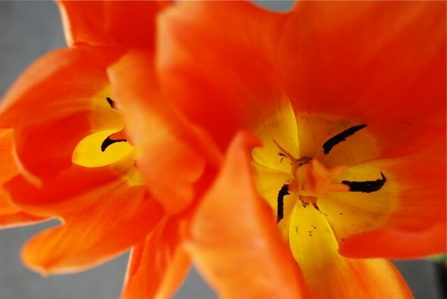 too-darn-hot-tulip