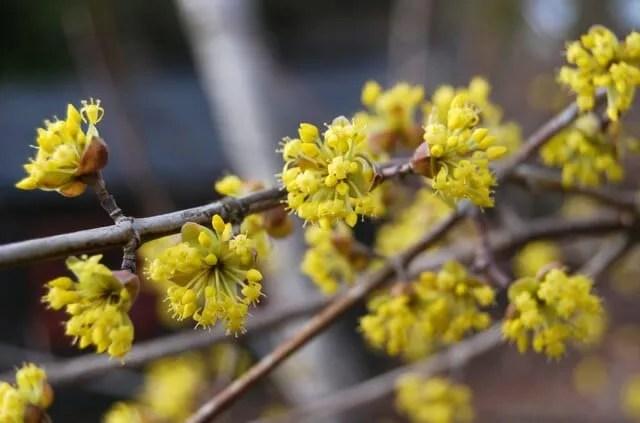 cornus-mas-blossom-09.jpg