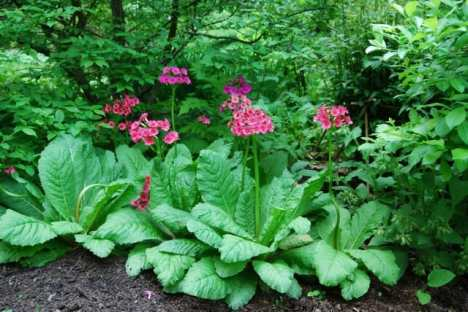 may-30-primula-japonica.jpg