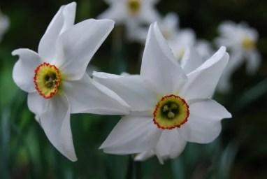 Pheasant's Eye Narcissus