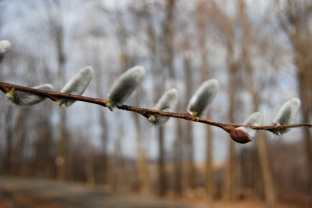 salix-giant-pussy-willow.jpg