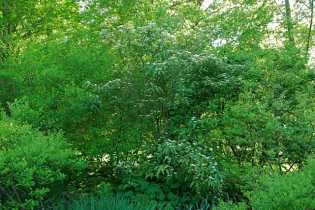 viburnum-setigerum-flower.jpg