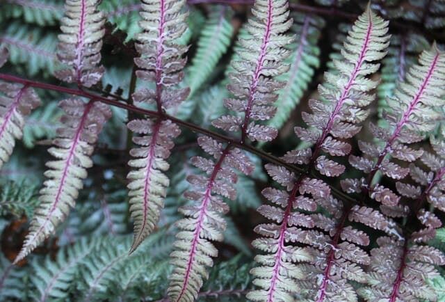 japanese-painter-fern-detail