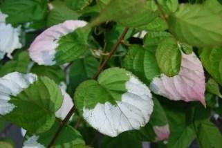 kiwi-leaves.jpg