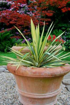 yucca-color-guard-in-pot