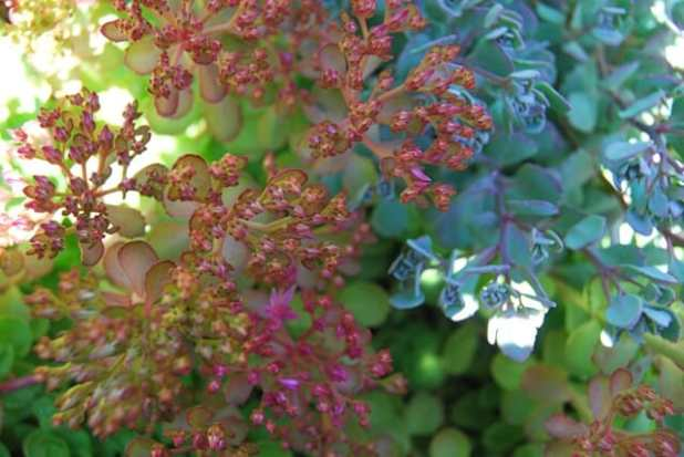 blue-and-pink-sedum