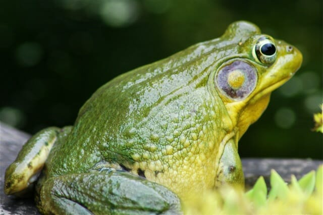 male-green-frog-mating-season