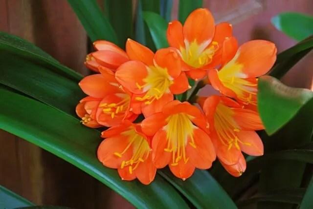 orange clivia 2