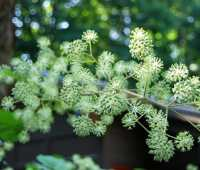 bigger the better: aralia cordata and its cousins