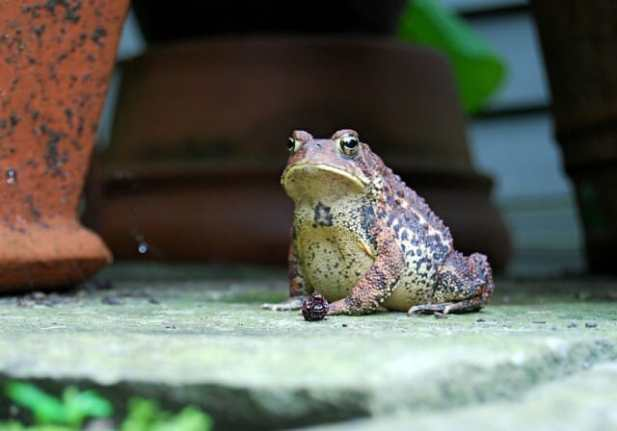 fat-toad
