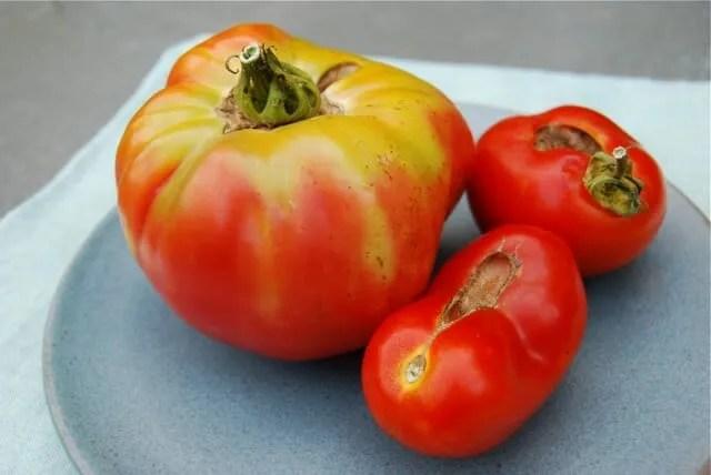 misshapen tomatoes