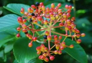 viburnum-sieboldii2