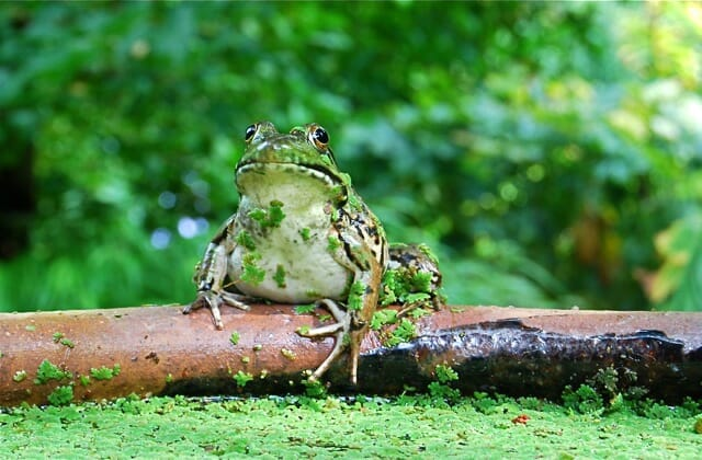 frog on lip of trough