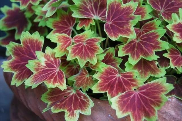 Brrrr overwintering tips for tender plants a way to garden - Overwintering geraniums tips ...