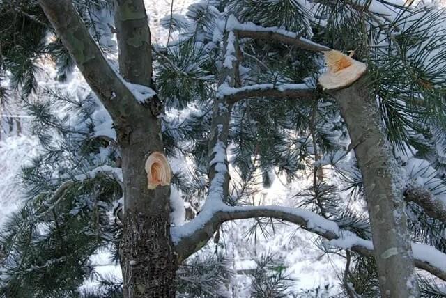 lacebark pine loses limbs