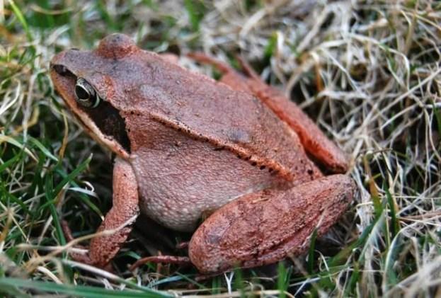wood-frog-closeup