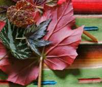 growing fancy-leaf begonias, indoors and out