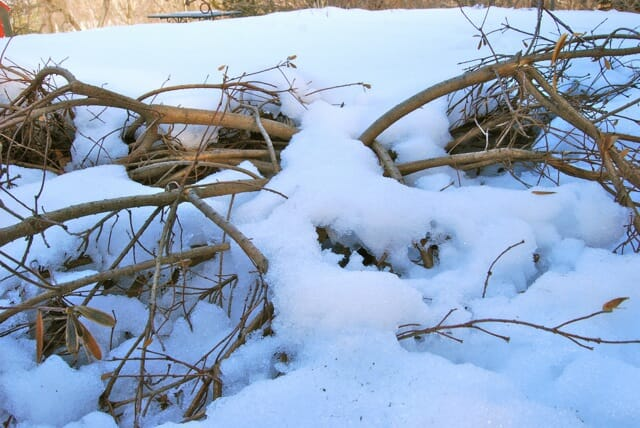 daphne in snow