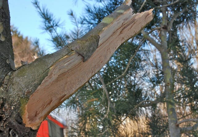 snow damaged pine