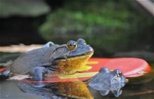 floating-bullfrogs