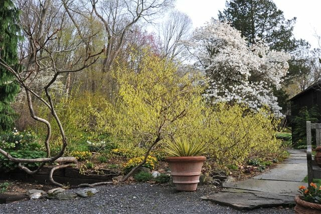 magnolia and corylopsis 2011