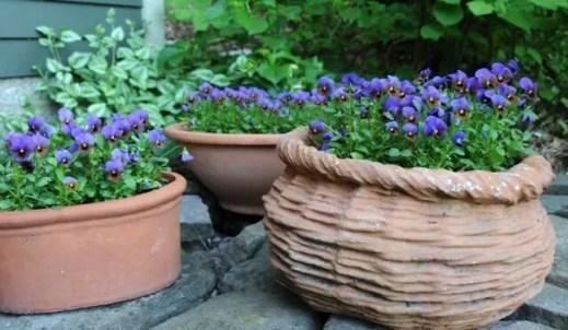 blue-bronze-violas