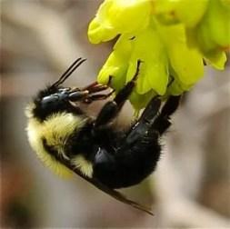 bumblebee detail