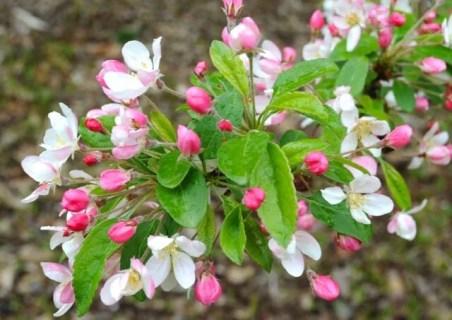 flowers-of-crabapple-bob-white