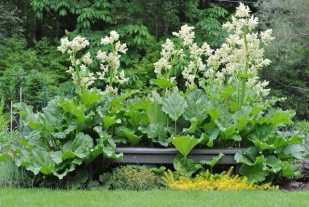 rhubarb-in-bloom
