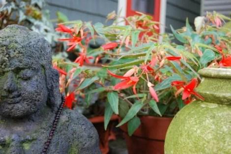 begonia-buddha1