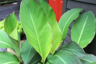 canna-grande-leaves