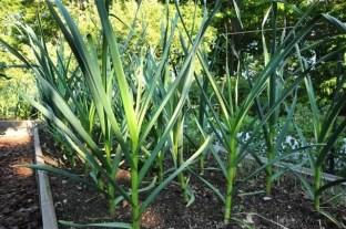 keep-garlic-weeded